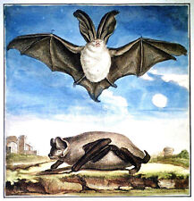 """8"""" x 8"""" Print – Old English Watercolour of a Bat (Antique Poster Picture Bats)"""