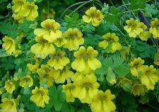 20 Dwarf Nasturtium Seeds Tropaeolum Majus Creeper Mixed Color Flower Perennial