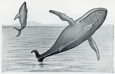 C4580 Megattera - Megaptera nodosa - Stampa d'epoca - 1931 Vintage print