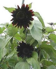 Moulin Rouge Sunflower 15 Seeds/Seed