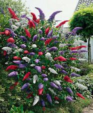 Buddleja davidii mix color Flower seeds perennial