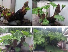 Mammutblatt Begleitpflanze für den Garten 3 Knollen Riesenfarne