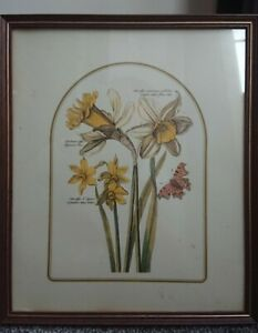Pretty Floral framed print of Daffodils with Latin names by M.W.R /  PTVB