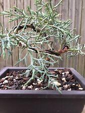 Arizona Cypress Bonsai tree in a Black Plastic pot. Smel 00006000 ls Amazing!