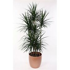 "Madagascar Dragon Tree Dracaena Marginata 4"" Pot - Easy to Grow House Plant NEW"