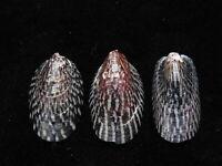 Sea Shell Septaria lineata 23mm ID#5042