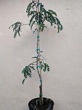 Tamarid Tamarindo Fruit Plant 3-4 Ft Tall