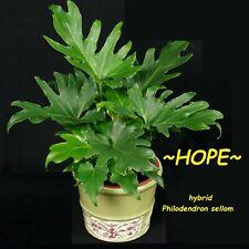 ~HOPE~ Split-leaf Philodendron bipinnatifidum 12-18+inch nice Med Potted PLANT