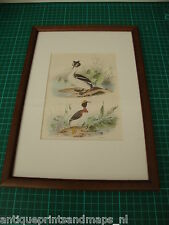 Antique framed bird print Horned grebe / antieke vogel prent Kuifduiker Buffon