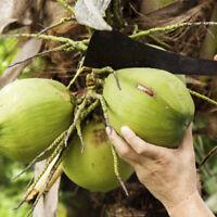 20pcs Kokospalme Kokosnuss Früchtesamen Kokosnussbaum Obstbaum Samen Pflanze