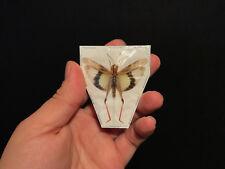 Entomologie Insecte Superbe Gatrimargus parvulus africanus A1 d'Indonesie!!