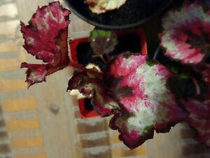 10xBegonia Rex (Begonia Kotobuki) #10 - Easy Growing Tropical Plant