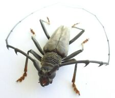 INSECT CERAMBYCIDAE 46MM (MALE) NEW AMAZING RARE ATALAYA -PERU