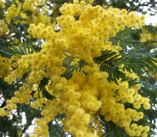10 GOLDEN MIMOSA Acacia Baileyana Yellow Wattle Tree Flower Seeds *Comb S/H