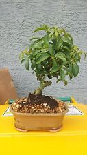 "COILED UMBRELLA BONSAI TREE IN A 8"" POT BEGINNER TREE INDOORS"