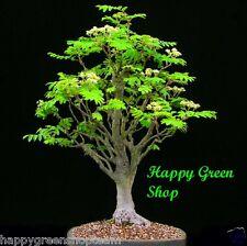 WHITEBEAM  Sorbus aria  13 seeds Bonsai uniqe silver tree easy fast grow
