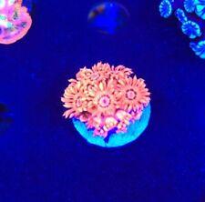 Red Hot Gonipora WYSIWYG Coral saltwater reef tank Reefkingdom Red
