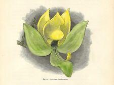 Stampa antica FIORI ORCHIDEA CYCNOCHES CHLOROCHILON botanica 1896 Antique print