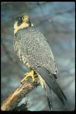 070037 Peregrine Falcon On Hunting Perch A4 Photo Print