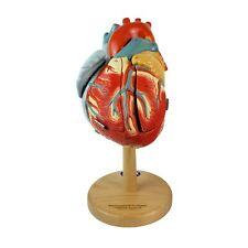 Denoyer Geppert 0140 00 Heart Of America Anatomical Model Anatomy Hand Painted 1