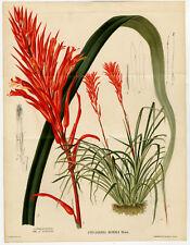 1 plante pitcairnia Puya venusta
