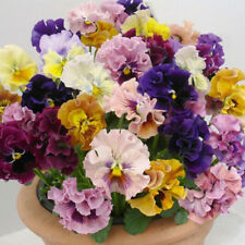 Flower Seeds Pansy Rococo Mix Beds Pots Containers Pictorial Packet Mix UK