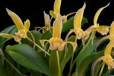 Bulbophyllum veitchianum species bloom size, Orchid plant
