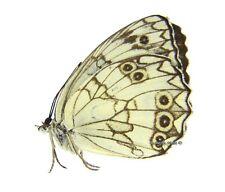 Unmounted Butterfly/Nymphalidae - Melanargia sadjadii, male, RARE, Iran