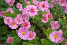 Dendranthema (perennial chrysanthemum) - Lucie's Pink