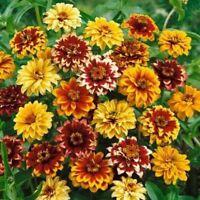 Zinnia- Persian Carpet Mix- 100 Seeds- BOGO 50% off SALE