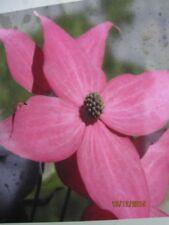 Japanischer Blumenhartriegel Scarlet Fire (R) - Cornus kousa Scarlet Fire (R)