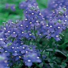 Nemesia- (Nemesia Strumosa) - Blue Gem - 100 seeds