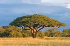 Acacia senegal GUM ACACIA TREE Exotic SEEDS!