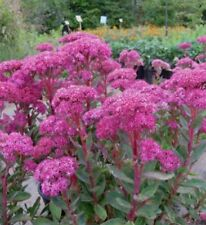 Spring Flowering Perennial Flowers Plants Ebay