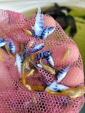 "Pack of 12 mbuna cichlids mixed colors 1"" guaranteed"