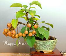 Pyrus Pyrifolia - 30 semillas-Arena Chino Peral de pera