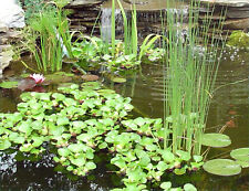 Live Pond Water Garden Aquarium Plants - 30+ Varieties - Updated for Fall 2020