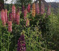 Garten Balkon Winterhart Samen Sämereien Blume LUPINE