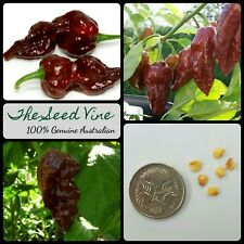 20+ NAGA VIPER CHOCOLATE CHILLI SEEDS (Capsicum chinense) Hot Edible NON-GMO