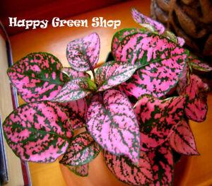 Pink Polka Dot - 70 seeds - Hypoestes Sanguinolenta - Perennial greenhouse plant