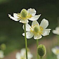 28,000 Seeds 1 Oz Bulk ANEMONE VIRGINIANA White Flower Native Meadow Perennial