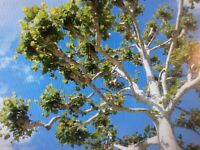 8 Fresh cut Sycamore Tree Cuttings, Live trees, Great hobby!