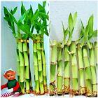 Lucky Bamboo 30 Plants - 4