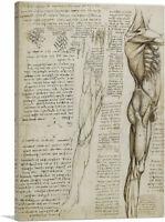 Studies of the Human Body Muscles of the Leg Canvas Art Print Leonardo da Vinci