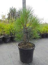 3 Pinus Wallichiana (Bhutan Pine) 2L Pot Evergreen Conifer Tree 30-40cm Plant
