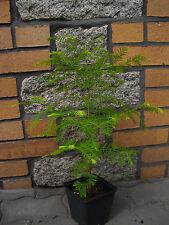 Metasequoia glyptostroboides Urwelt-Mammutbaum  150 Samen