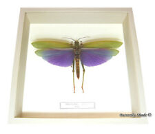 REAL MOUNTED FRAMED INSECT - Titanacris albipes - PURPLE WING GRASSHOPPER