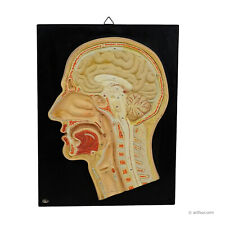 antique teaching aid - median incision of the human head by PHYWE