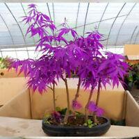 Purple Ghost Acer Palmatum Japanese Maple Tree Seeds X 20 + UK BUY 2 GET 1 FREE