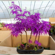 Purple Ghost Acer Palmatum Japanese Maple Tree Seeds X 20 + UK BUY 2 GET 1 FREE